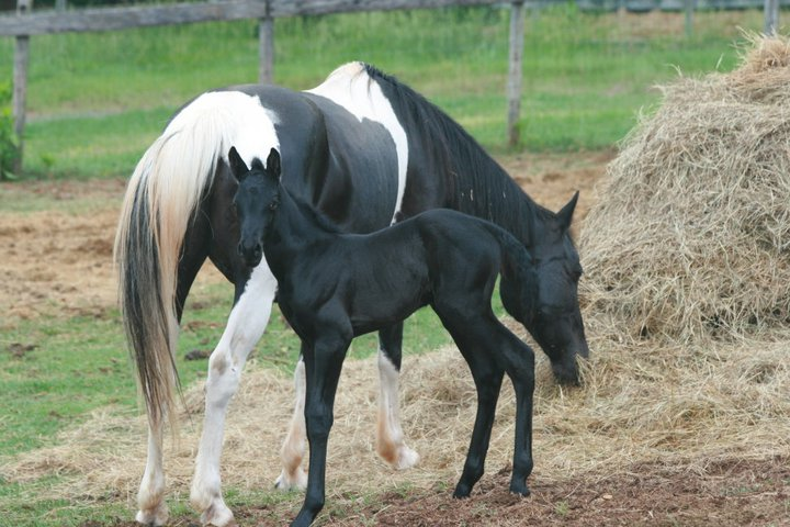 Black colt and mom, Lady