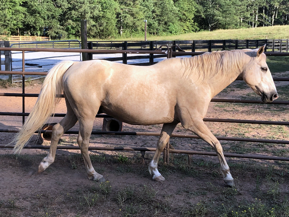 Tibo has been rehabbed and lives in the herd at Bearfoot Ranch.